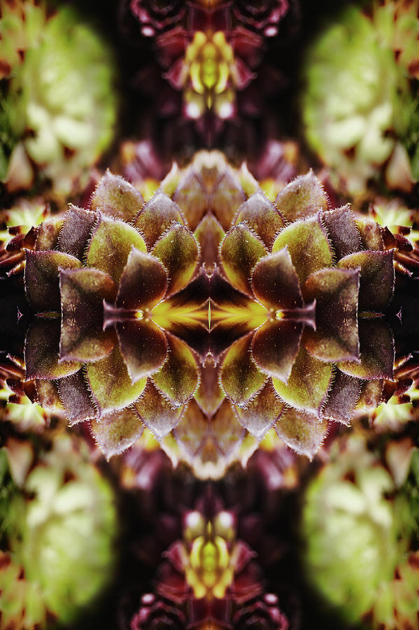 Leaves Of Succulent Plant Photograph by Silvia Otte