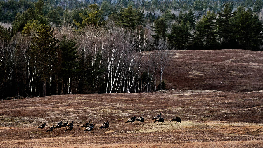 Wild Turkeys Photograph - Leaving Town For The Holidays by Susan Capuano
