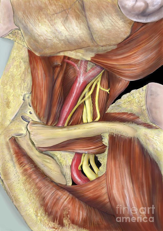 Left Armpit Nerve Plexus, Artwork Photograph by D & L Graphics