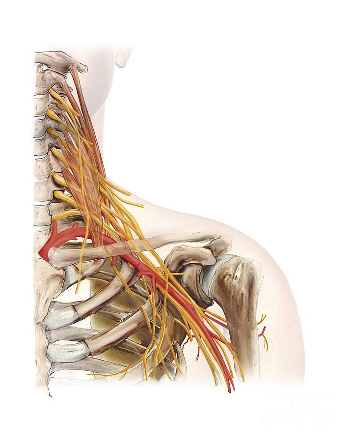 Left Shoulder And Nerve Plexus Artwork Photograph By D L Graphics