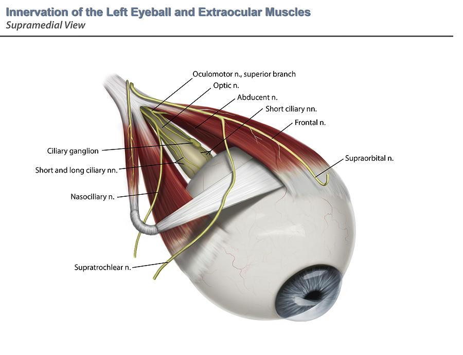 Left Supramedial Eye Anatomy Showing Photograph by Alayna Guza