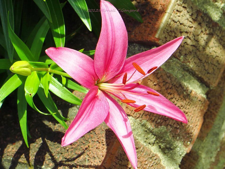 Pink Lilies Photograph - Leiron by Sonali Gangane