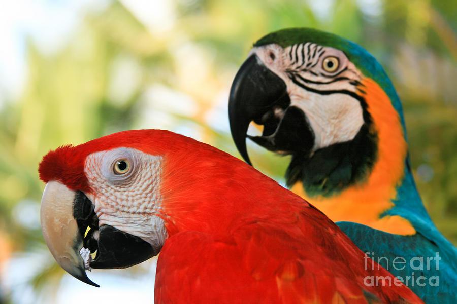 Macaw Photograph - Lele by Sharon Mau