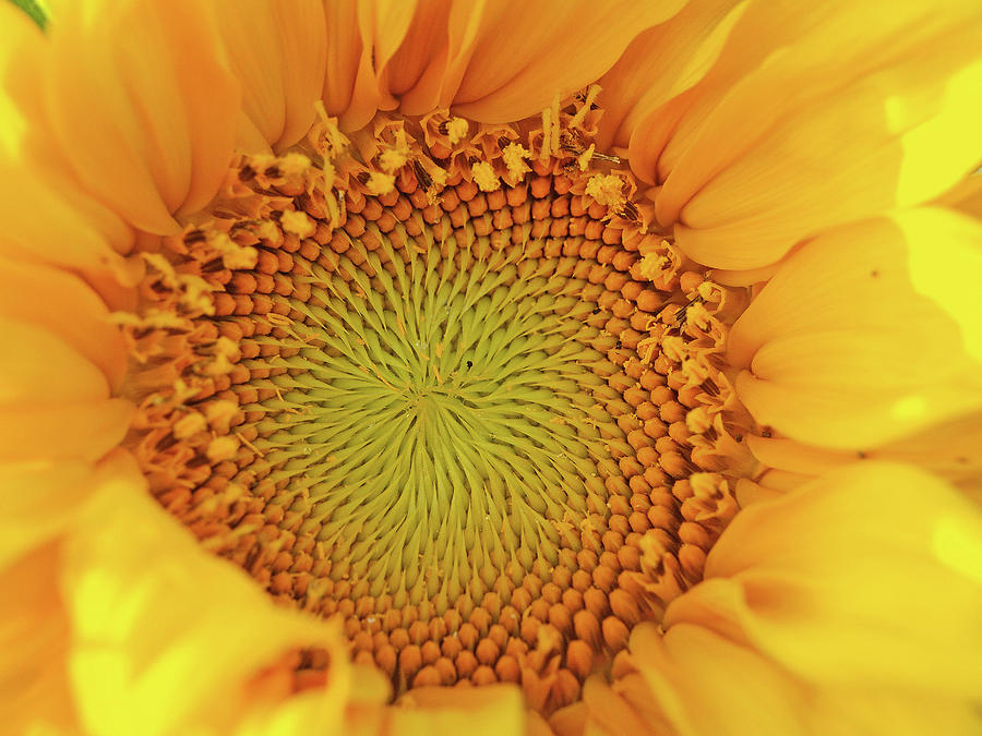 Floral Photograph - Lemon by Tom Druin