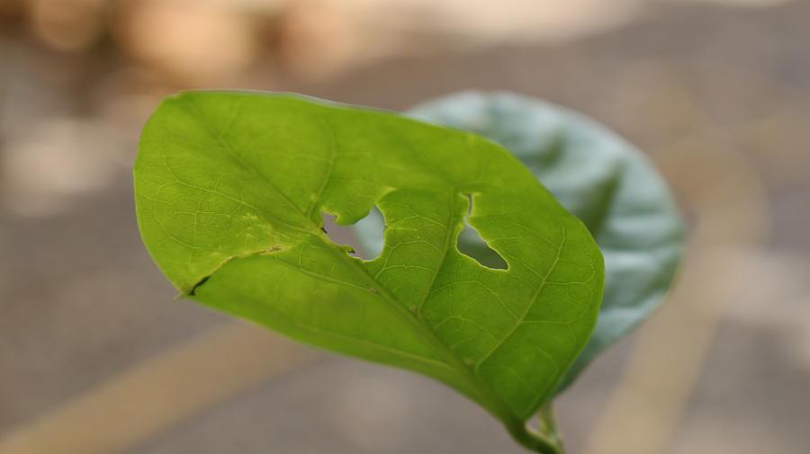 Lemon Tree Leaves At Home Garden Digital Art by Ibrahim Albalushi
