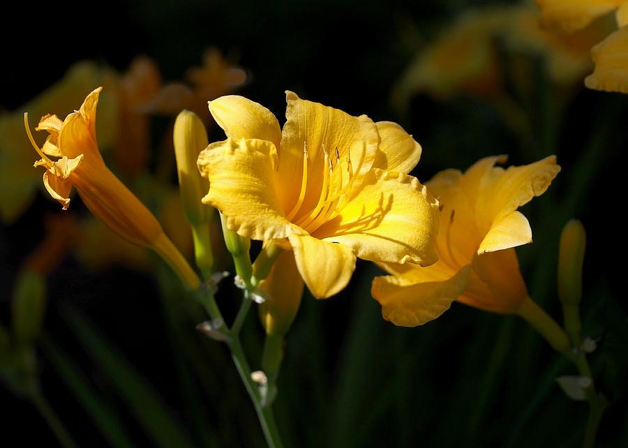 Daylilies Photograph - Lemon Yellow Daylilies by Rona Black