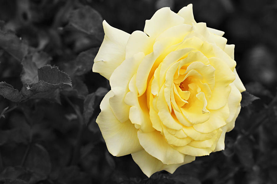 Lemon Yellow Rose With Black And White Background ...
