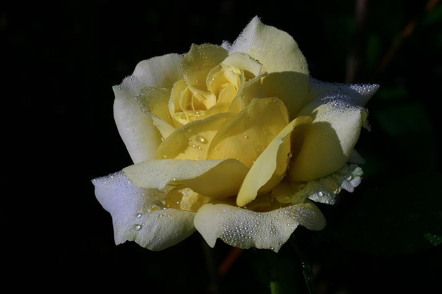 Rose Photograph - Lemoncandy by Doug Norkum