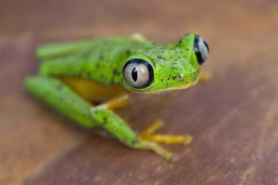 Lemur Frog Costa Rica Photograph by Ingo Arndt