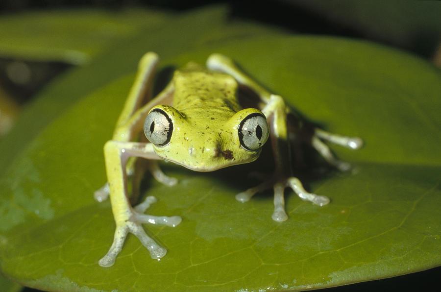 Lemur Frog  Monteverde Costa Rica Photograph by Konrad Wothe
