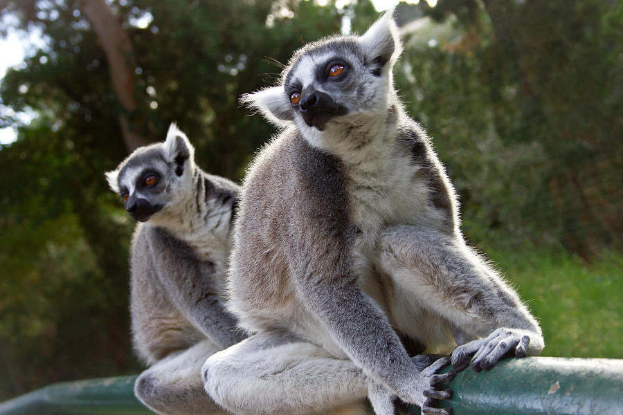 Exotic Photograph - Lemurs by Nadya Ost