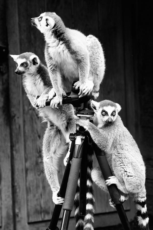 Baby Photograph - Lemurs Perched On Tripod by Goyo Ambrosio