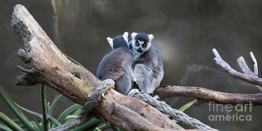 Lemur Photograph - Lemurs by Shannon Rogers