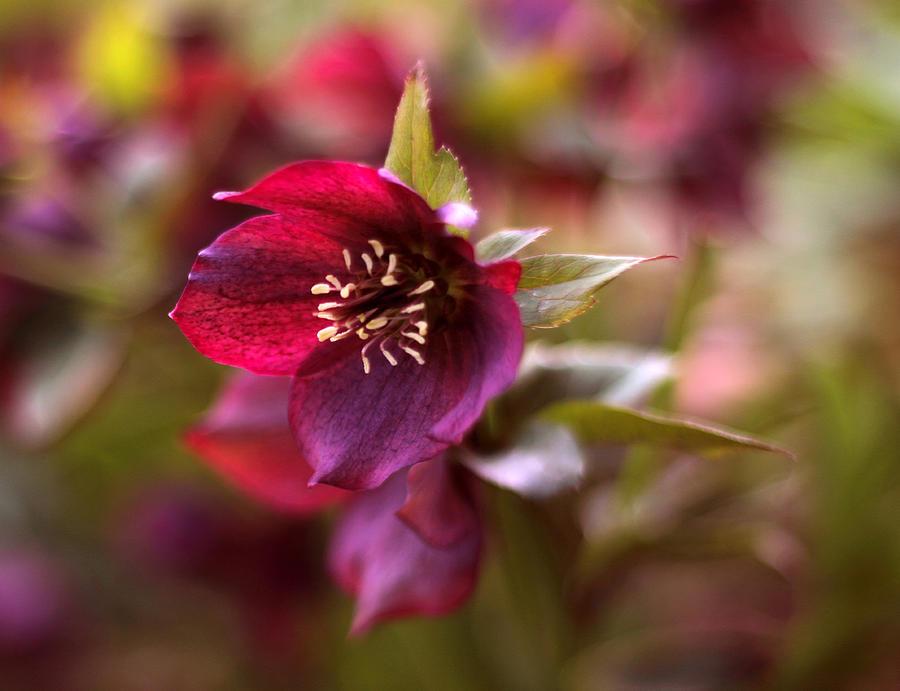 Flowers Photograph - Lenten Rose by Jessica Jenney