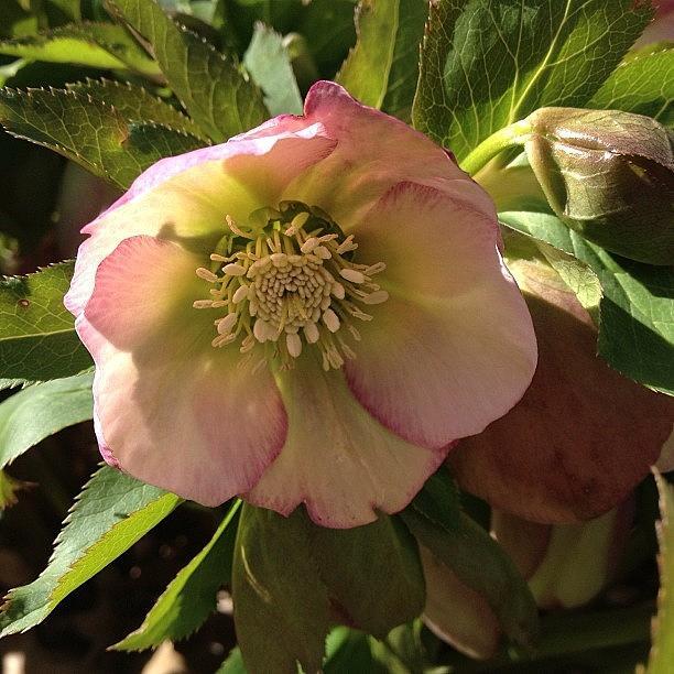 Beautiful Photograph - #lentenrose #helebore #spring #flower by Teresa Mucha