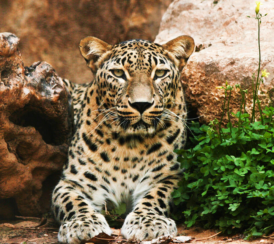 Leopard Photograph - Leopard by Amr Miqdadi