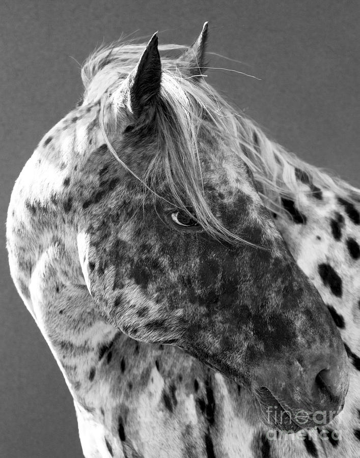 Horse Photograph - Leopard Appaloosa by Carol Walker
