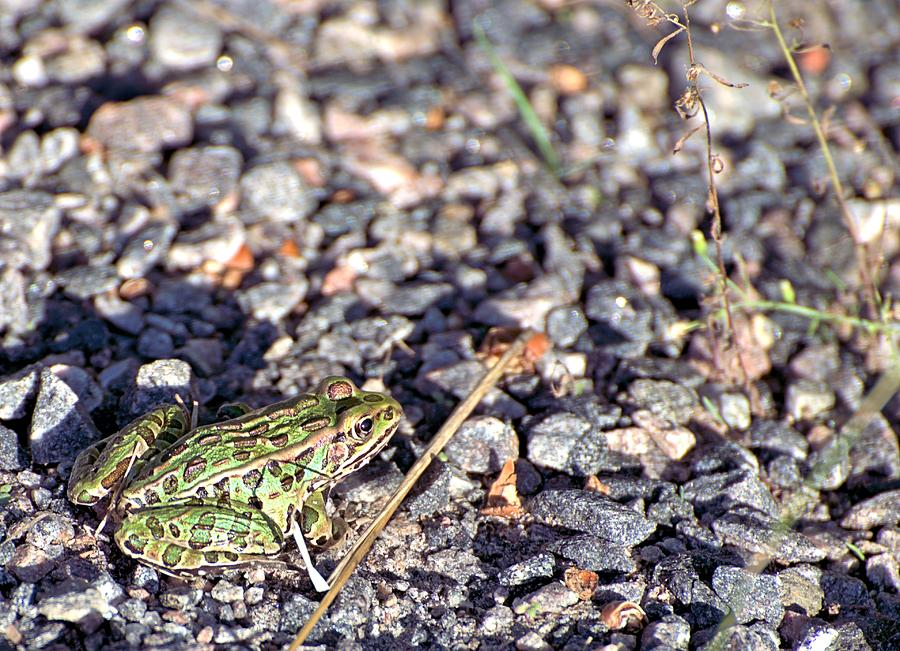 Frog Photograph - Leopard Frog And Gravel by Andrew Miles
