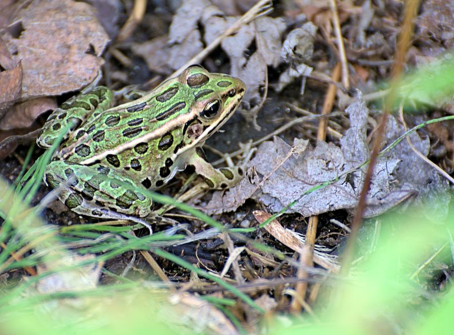 Frog Photograph - Leopard Frog And Leaf Litter by Andrew Miles
