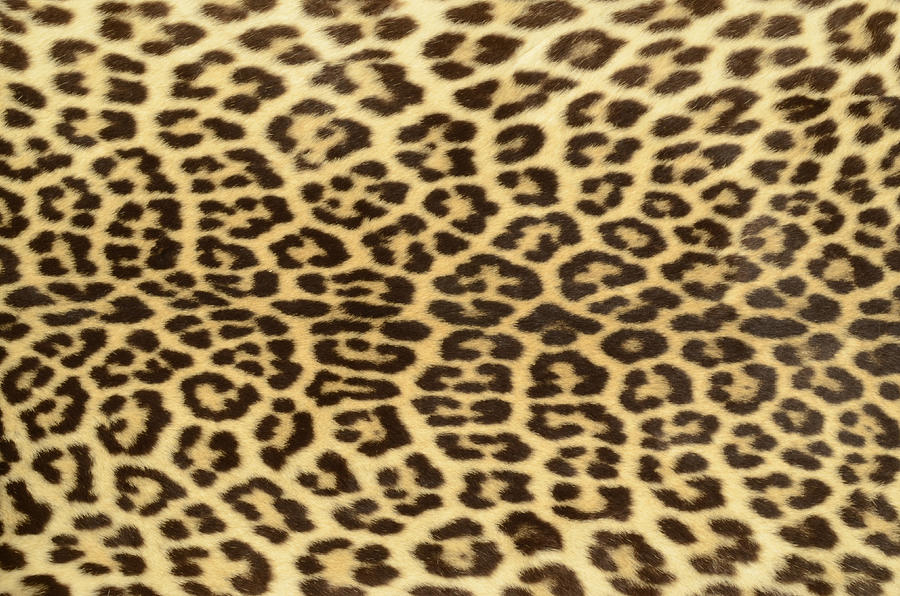 Leopard Hide Photograph by Philipcacka