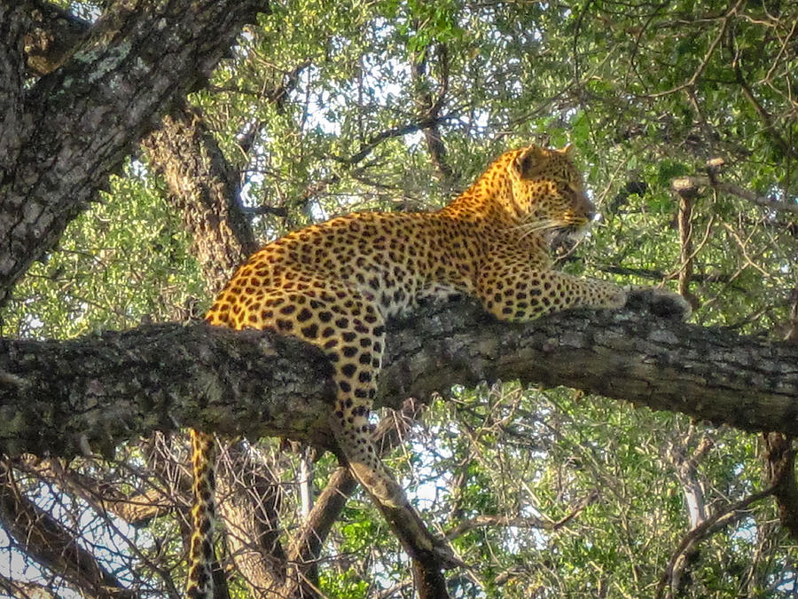 Leopard In A Tree Photograph by Gregory Daley  MPSA
