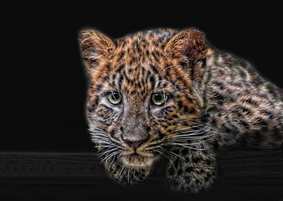 Cats Photograph - Leopard-kitten by Joachim G Pinkawa
