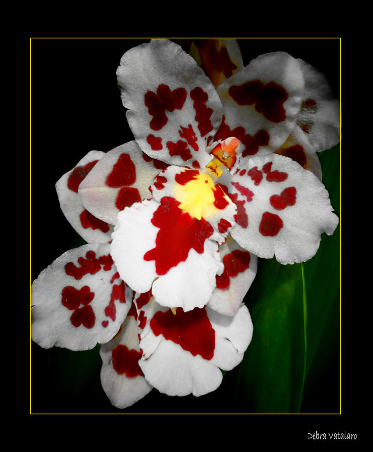 Orchids Photograph - Leopard Orchid by Debra     Vatalaro