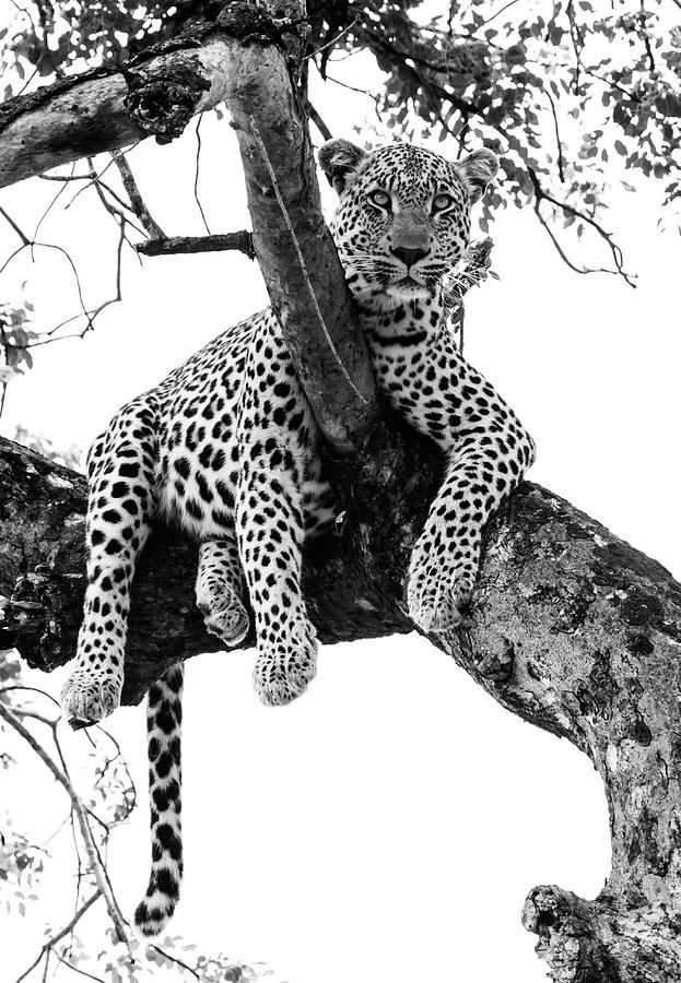 Leopard - Panthera Pardus. Leopard Will Photograph by Peter Van Der Byl