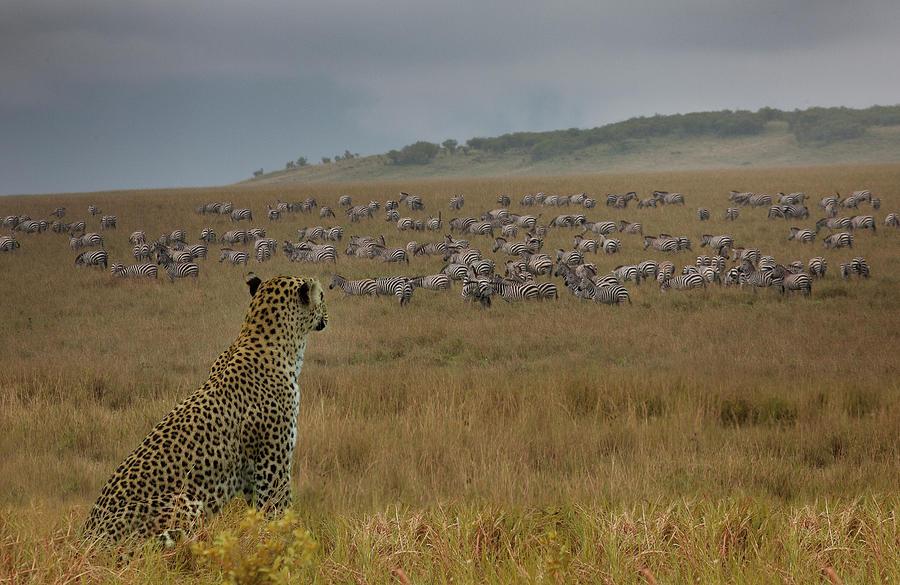 Leopard Panthera Pardus Watching Zebras Photograph by Buena Vista Images