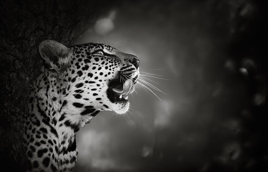 Leopard Photograph - Leopard Portrait by Johan Swanepoel