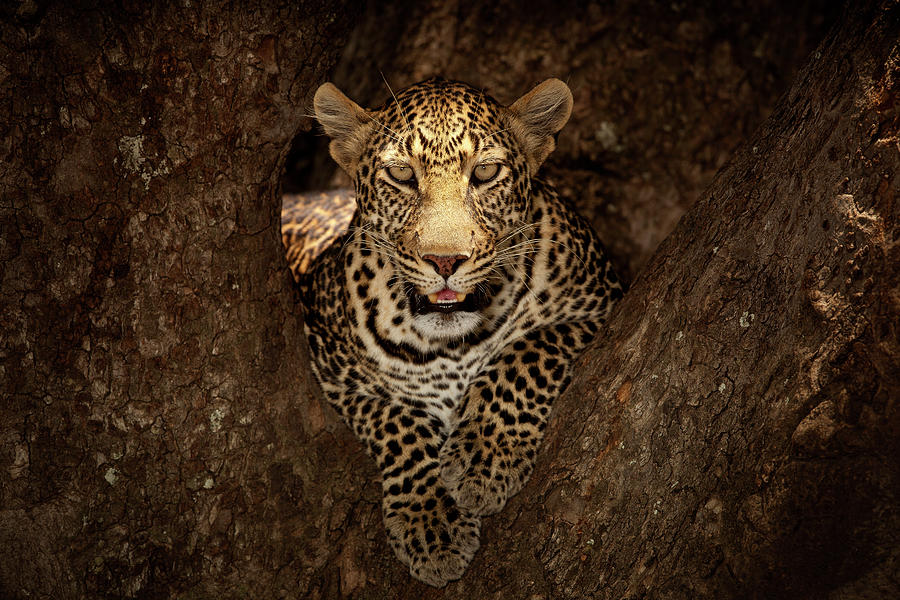 Nature Photograph - Leopard Resting On A Tree At Masai Mara by Ozkan Ozmen Photography