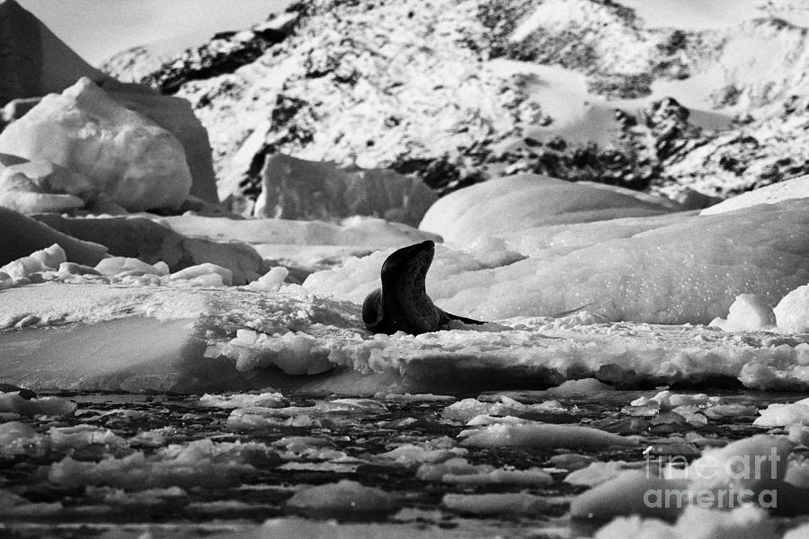 Leopard Seal Lying On Iceberg In Blue Glacial Ice In Brash
