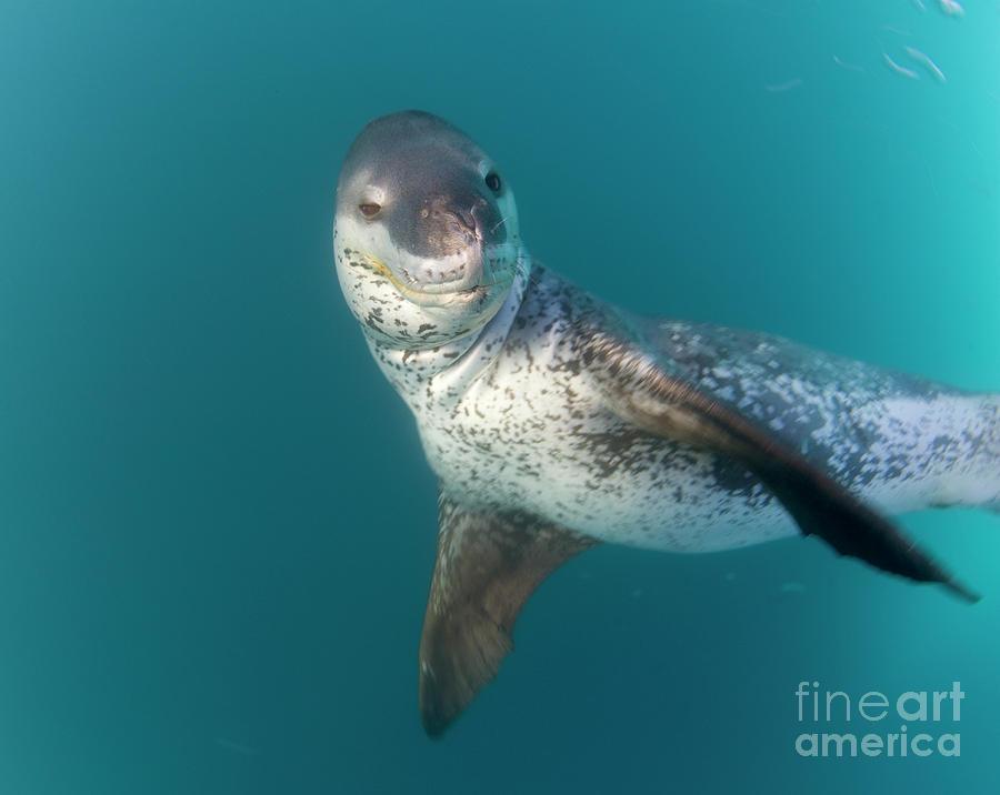 Leopard Seal South Shetland Islands Photograph by Yva Momatiuk John Eastcott