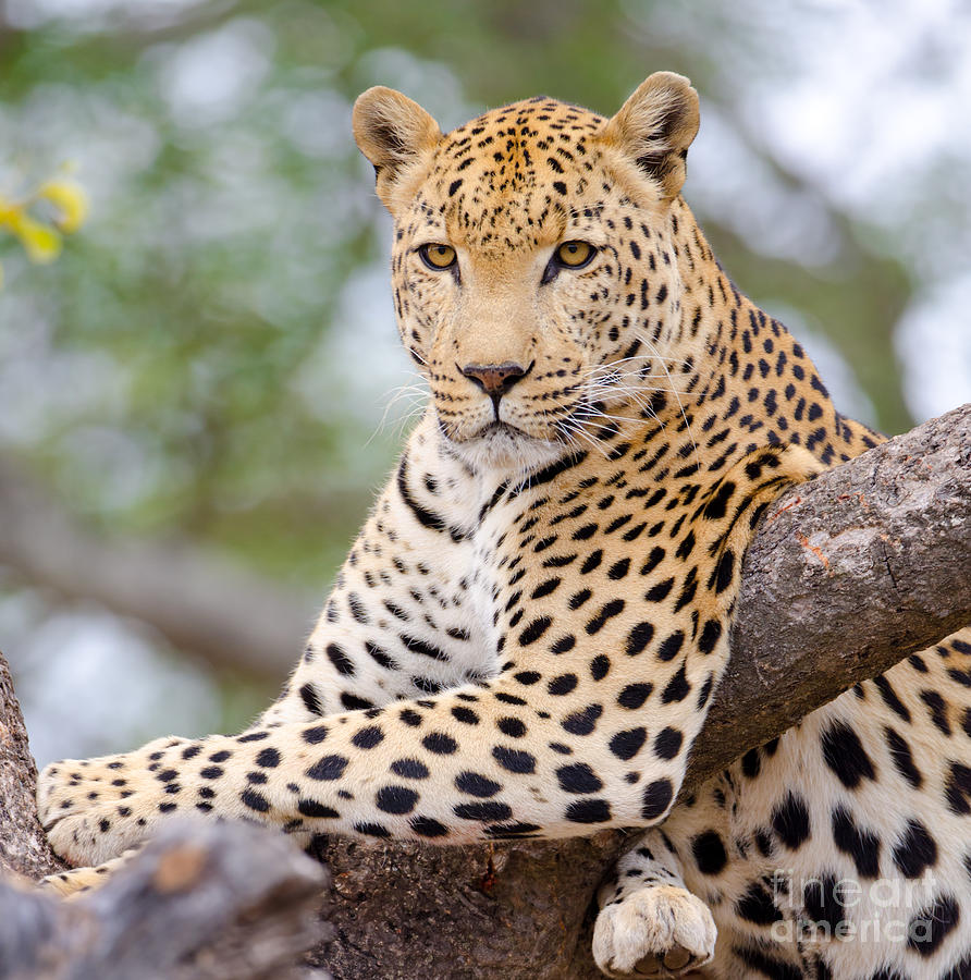 Leopard Photograph - Leopard - South Africa by Birdimages Photography