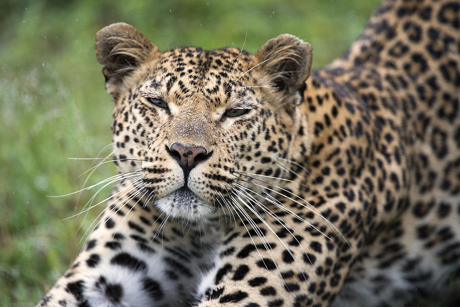 Leopard Stretching Sabi-sands Game Photograph by Sergey Gorshkov