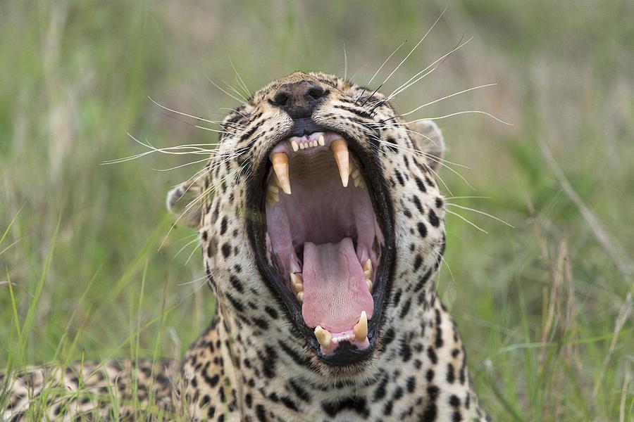 Leopard Yawning Sabi-sands Game Reserve Photograph by Sergey Gorshkov