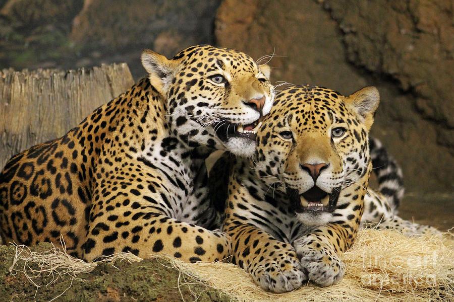 Leopard Photograph - Leppard Lovin by Eric Curtin