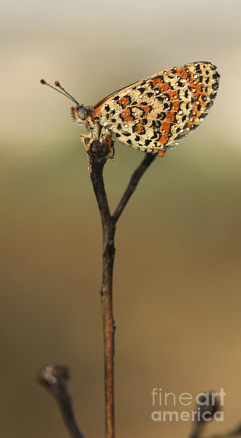 Butterfly Photograph - Lesser Spotted Fritillary by Alon Meir
