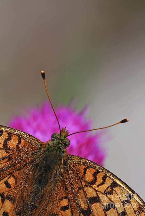 Butterfly Photograph - Lesser Spotted Fritillary by Amos Dor