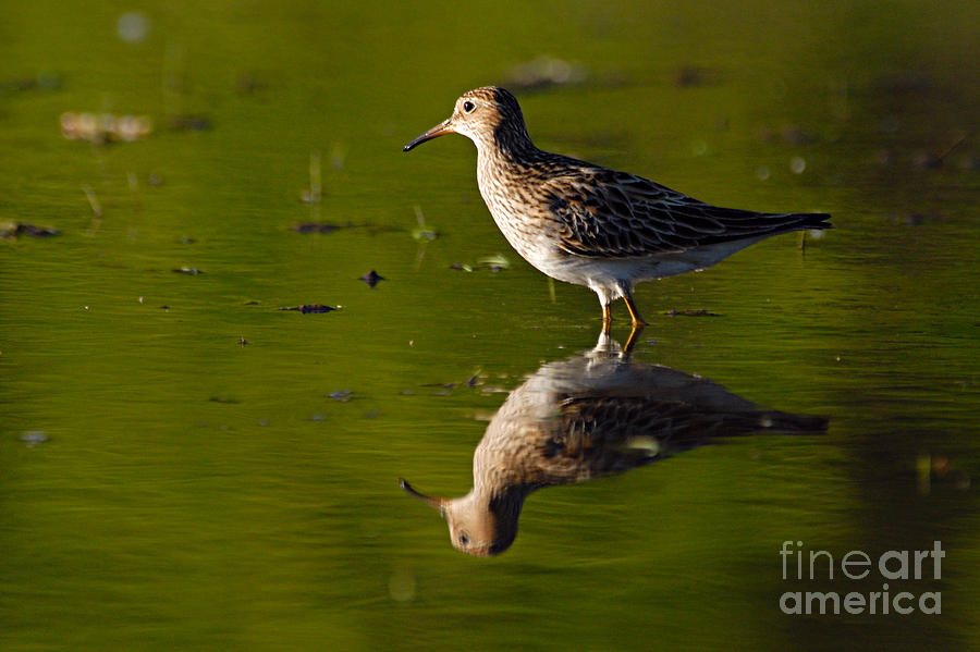 Nature Photograph - Lesser Yellowlegs by Larry Ricker