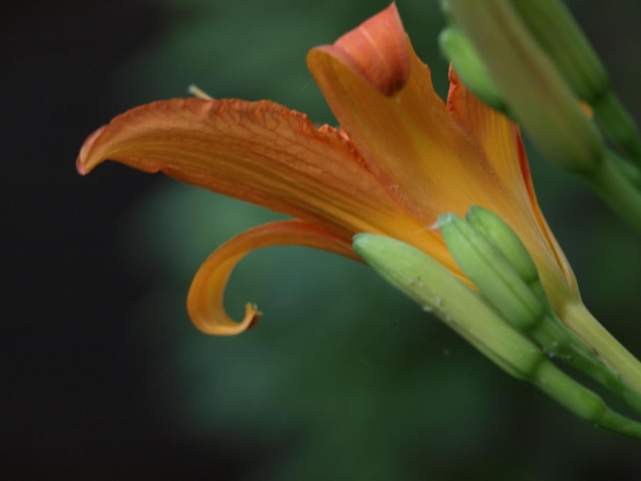 Orange Flower Photograph - Let It Curl by Corina Bishop