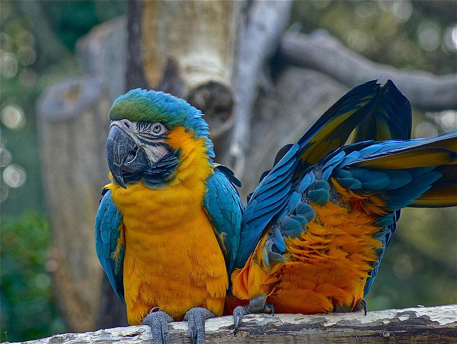 Macaws Photograph - Let Me Show You My Scar.... by Colleen Renshaw