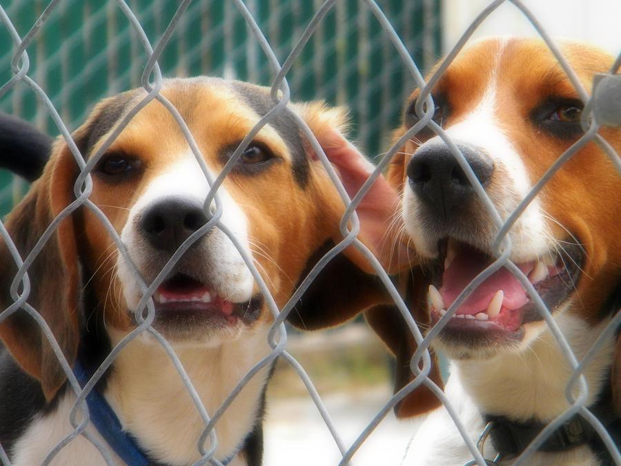 Beagle Photograph - Let Us Out by Amanda Eberly-Kudamik