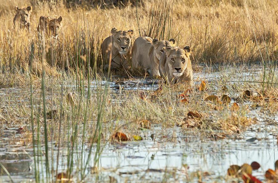 Lions Photograph - Lets Go Across by Jennifer