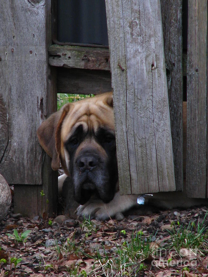 Bull Mastiff Photograph - Lets Play by Greg Patzer