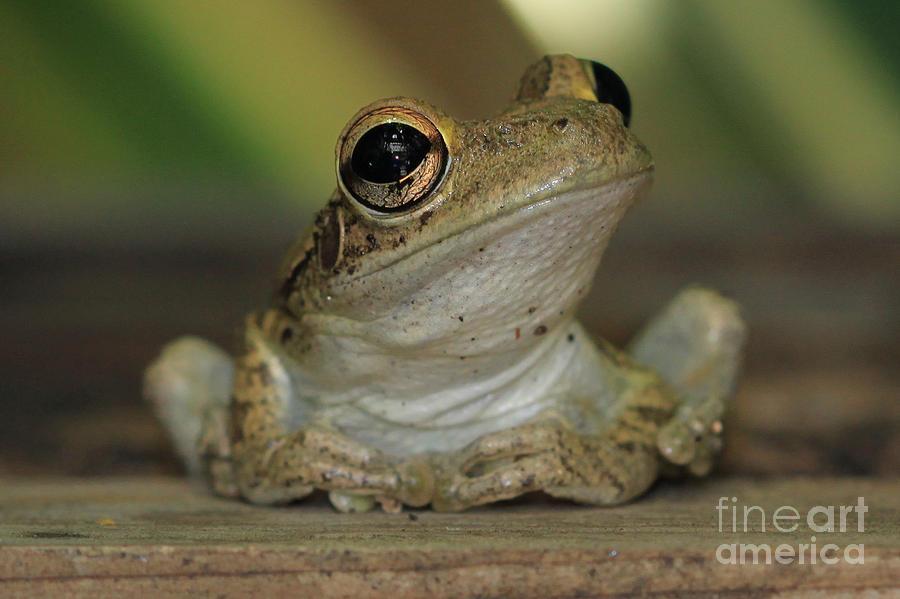 Let's Talk - Cuban Treefrog by Meg Rousher