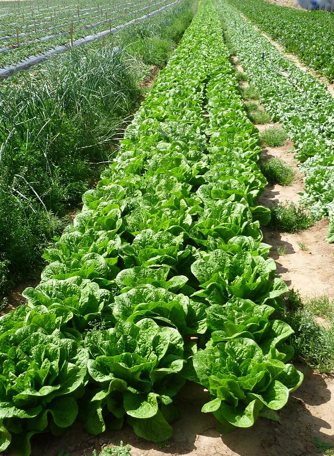 Lettuces In A Row In The Plains Of Central Israel Photograph by by IAISI