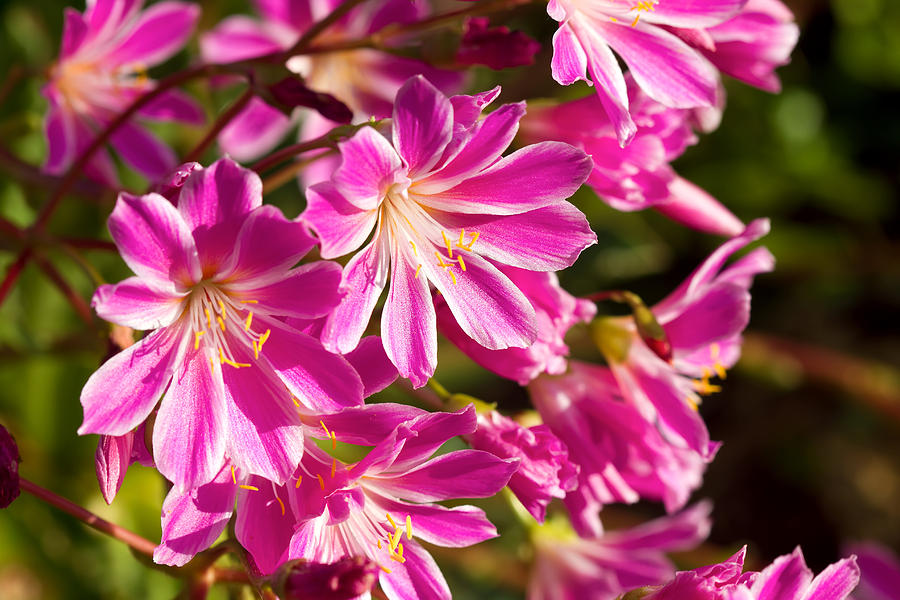 Lewisia Photograph - Lewisia Cotyledon Flowers by David Gn