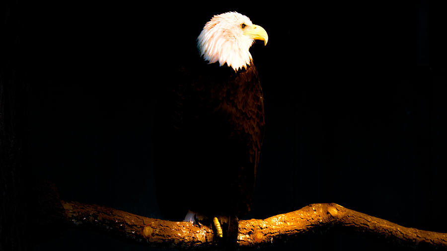 Bald Eagle Photograph - Liberty by Philip Zion