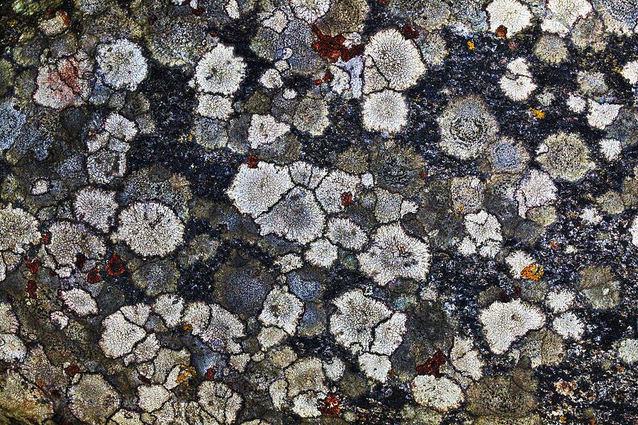 Patch Photograph - Lichen-6549 by Damon Clarke